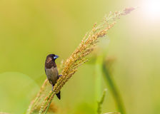 White-rumped Munia (Lonchura striata) Stock Photos