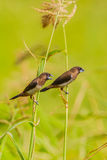 White-rumped Munia (Lonchura striata) Stock Photography