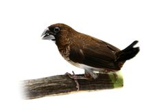 White-rumped Munia, Lonchura striata Stock Photography