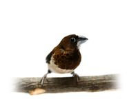 White-rumped Munia, Lonchura striata Stock Photos