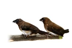 White-rumped Munia, Lonchura striata Royalty Free Stock Photo