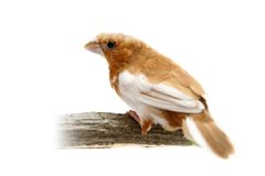 White-rumped Munia, Lonchura striata Stock Photo