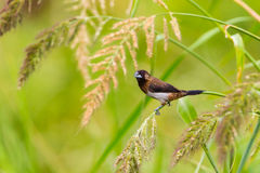 White-rumped Munia ( Royalty Free Stock Photo