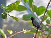 White-rumped munia/White-rumped mannikin/striated finch Stock Image