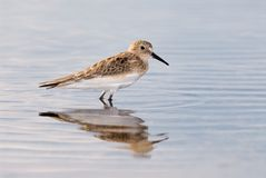 White-rumped Sandpiper. (Calidris fuscicollis) reflected in water stock photos