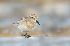 White-rumped Sandpiper, Calidris Fuscicollis Stock Images