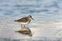 White-rumped sandpiper, Calidris fuscicollis Royalty Free Stock Photography