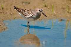 White-rumped Sandpiper Royalty Free Stock Photography