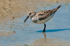 White-rumped Sandpiper Stock Images