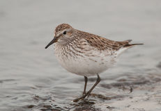 White-rumped Sandpiper Stock Photo