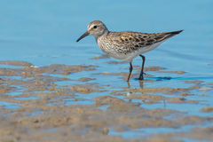 White-rumped Sandpiper Royalty Free Stock Photos