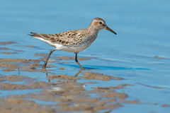 White-rumped Sandpiper Royalty Free Stock Photo