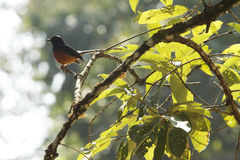 White-rumped Shama Royalty Free Stock Photo