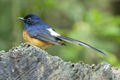 White-rumped Shama. Male white-rumped Shama, Copsychus malabaricus on a wood Stock Photo