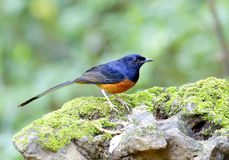 White-rumped Shama Stock Images