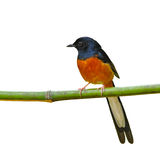 White-Rumped Shama bird Royalty Free Stock Images