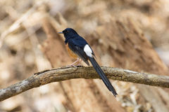 White-rumped shama bird on the branch Stock Images