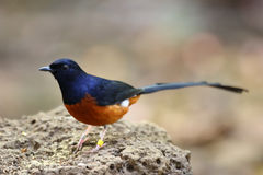 White-rumped Shama Royalty Free Stock Photos