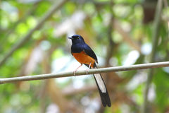 White-rumped Shama male Royalty Free Stock Image