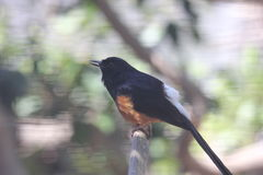 White-rumped shama Copsychus malabaricus Stock Photo
