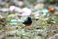White-rumped Shama. (Copsychus malabaricus) male in Thailand Royalty Free Stock Images
