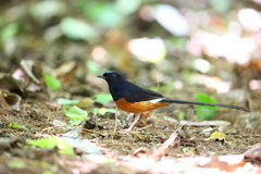 White-rumped Shama. (Copsychus malabaricus) male in Thailand Stock Images