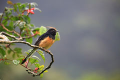 White-Rumped Shama (Copsychus malabaricus). White-Rumped Shama on a tree branch Royalty Free Stock Photo
