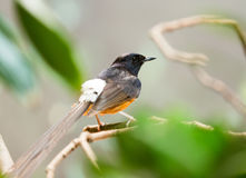 White-rumped shama. (Copsychus malabaricus)  at wildness Stock Image
