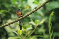 White-rumped shama. Sitting on the branch Stock Photography