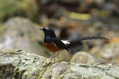 White-rumped shama. In southern forest of Thailand Stock Photography