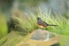 White-rumped shama. Standing behind the rock Stock Photos