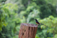 White-rumped Shama standing on a branch. White-rumped Shama Copsychus malabaricus, standing on a branch Stock Photography