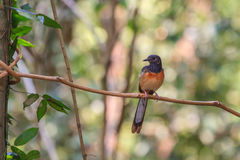 White-rumped Shama standing on a branch. White-rumped Shama (Copsychus malabaricus), standing on a branch Royalty Free Stock Photo