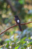 White-rumped Shama standing on a branch. White-rumped Shama (Copsychus malabaricus), standing on a branch Stock Photography