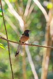 White-rumped Shama standing on a branch Stock Photography