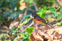 White-rumped Shama standing on a branch Royalty Free Stock Photos