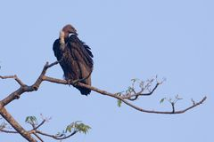 White rumped vulture on a branch, Lumbini, Nepal Stock Photography