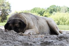 White rural dog sleep and lie curled upon a ground, summer season royalty free stock photos