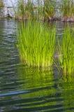 White Rush Pond Plant Stock Photos