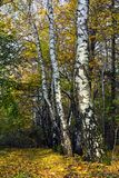 White Russian birches in the autumn forest Stock Photo