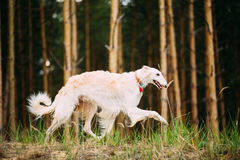 White Russian Borzoi - Hunting Dog Running In Autumn Forest Royalty Free Stock Photo