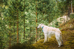 White Russian Dog, Borzoi, Hunting dog is at the Royalty Free Stock Photography