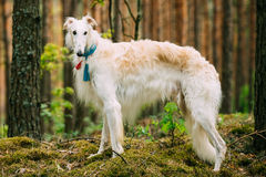 White Russian Dog, Borzoi, Hunting dog in Spring Royalty Free Stock Images