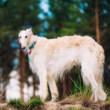 White Russian Dog, Borzoi, Hunting dog in Spring Stock Images