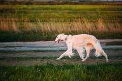 White Russian Dog, Borzoi, Hunting dog in Summer Stock Photo