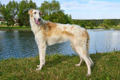 White Russian wolfhound Royalty Free Stock Photos