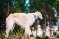White Russian Wolfhound Dog, Borzoi, Russian Royalty Free Stock Photography