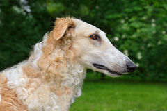White Russian wolfhound Royalty Free Stock Image