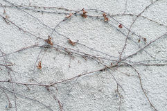 White rustic wall with dry ivy plant Royalty Free Stock Image