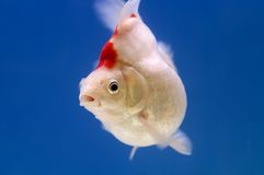 White Ryukin Goldfish Stock Photography
